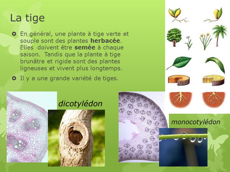 La tige  En général, une plante à tige verte et souple sont des plantes herbacée.