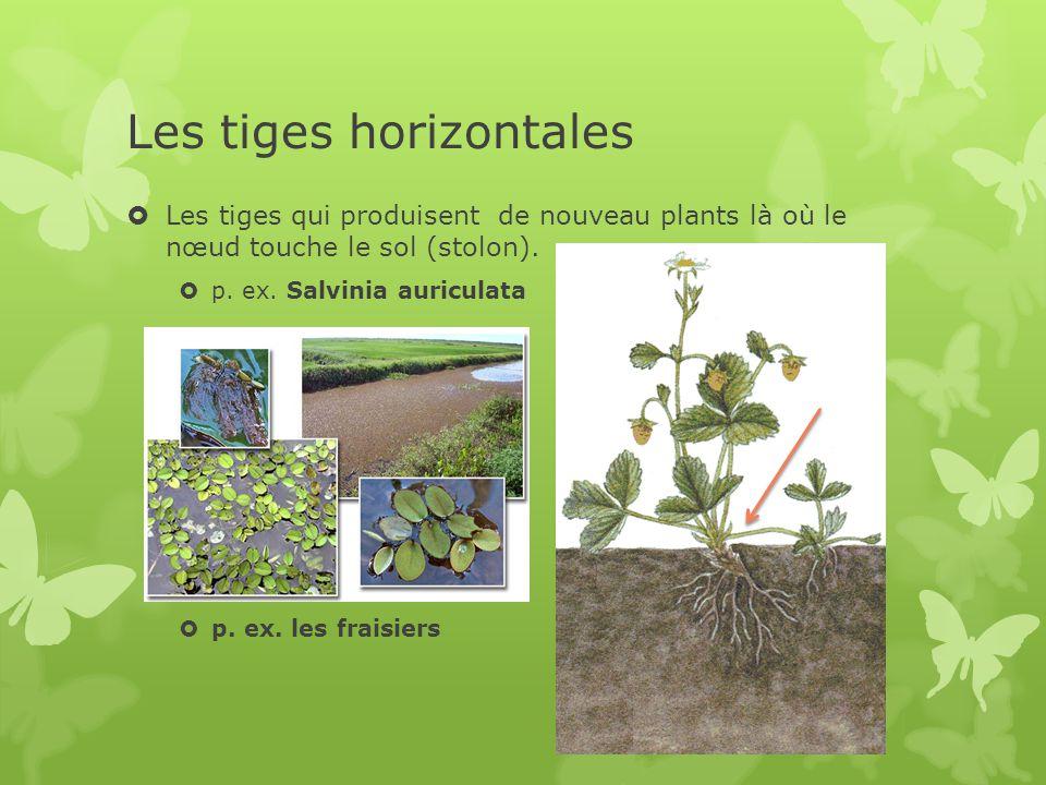 Les tiges horizontales  Les tiges qui produisent de nouveau plants là où le nœud touche le sol (stolon).