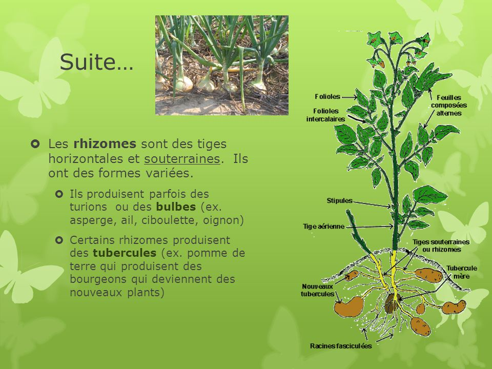 Suite…  Les rhizomes sont des tiges horizontales et souterraines.