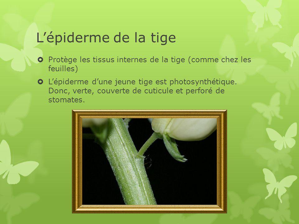 L'épiderme de la tige  Protège les tissus internes de la tige (comme chez les feuilles)  L'épiderme d'une jeune tige est photosynthétique.