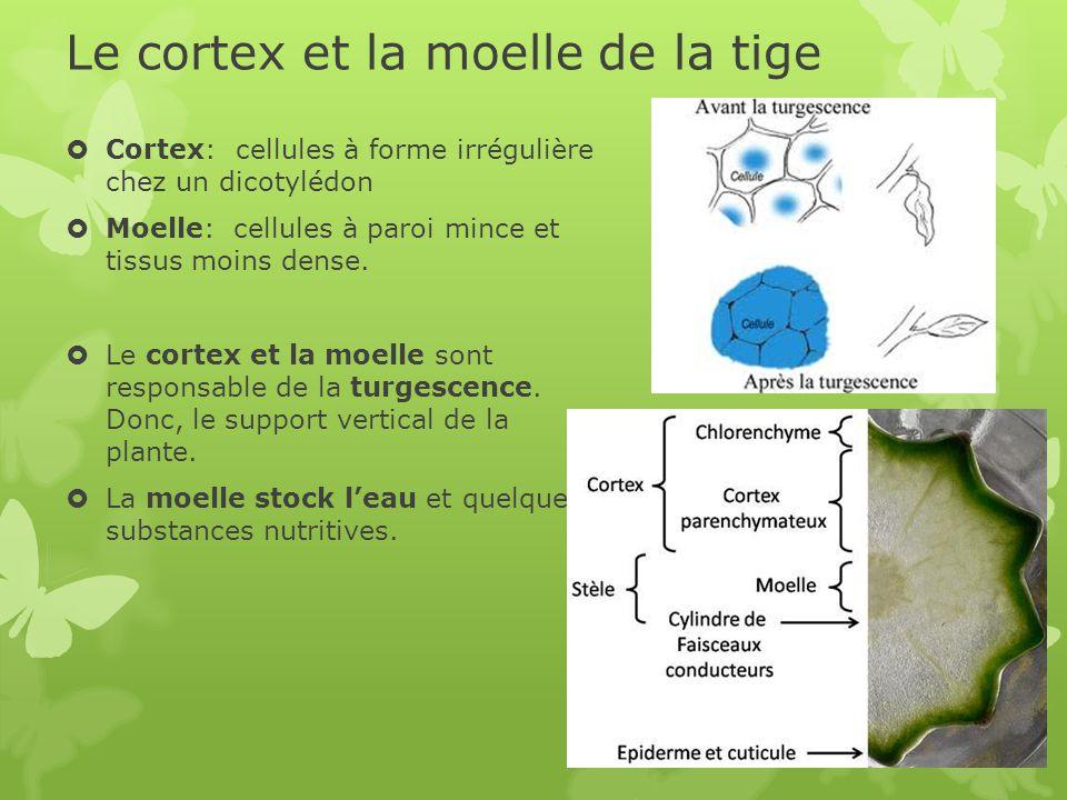 Le cortex et la moelle de la tige  Cortex: cellules à forme irrégulière chez un dicotylédon  Moelle: cellules à paroi mince et tissus moins dense.