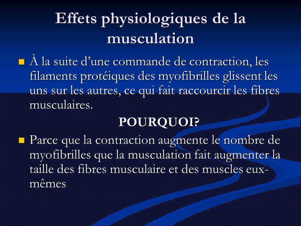 Effets physiologiques de la musculation À la suite d'une commande de contraction, les filaments protéiques des myofibrilles glissent les uns sur les autres, ce qui fait raccourcir les fibres musculaires.