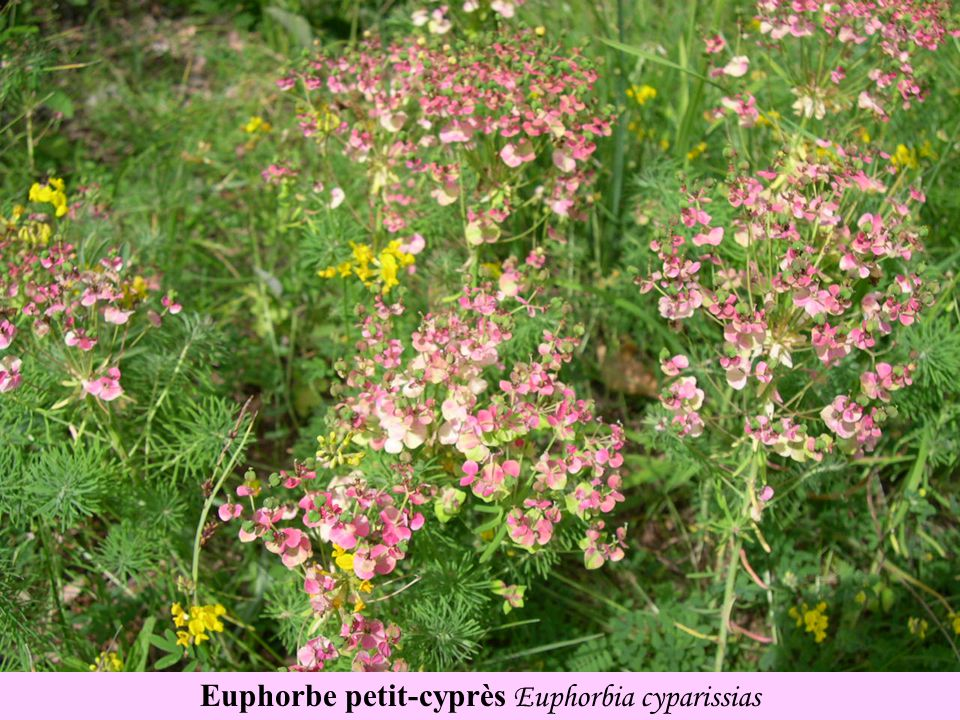 Euphorbe petit-cyprès Euphorbia cyparissias
