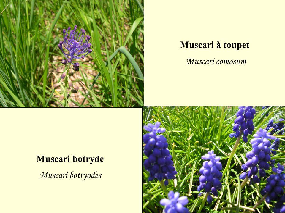 Muscari à toupet Muscari comosum Muscari botryde Muscari botryodes