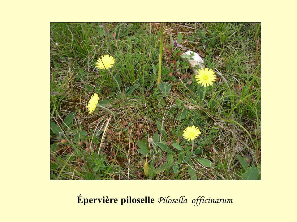 Épervière piloselle Pilosella officinarum