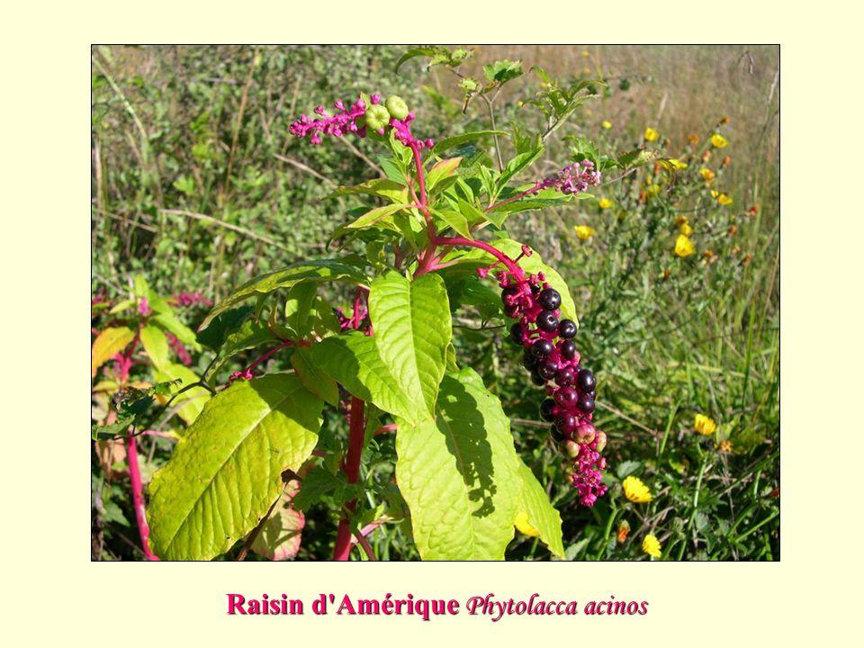 Raisin d'Amérique Phytolacca acinos
