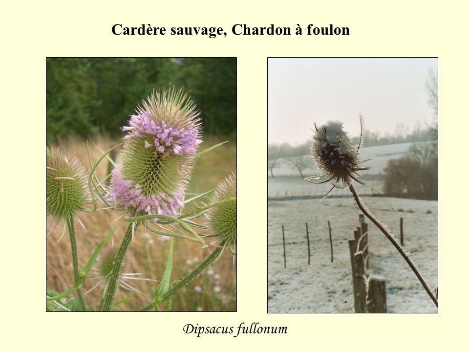 Dipsacus fullonum Cardère sauvage, Chardon à foulon