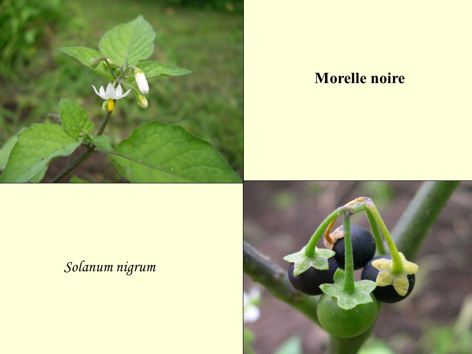 Morelle noire Solanum nigrum