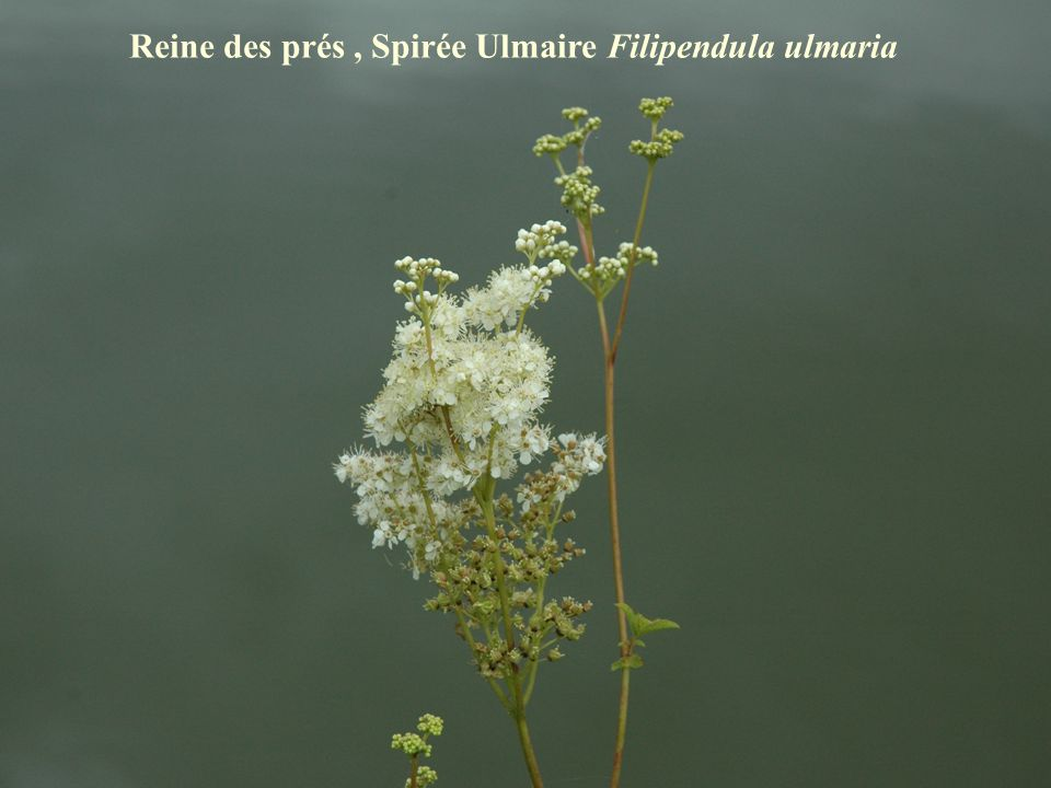 Reine des prés, Spirée Ulmaire Filipendula ulmaria