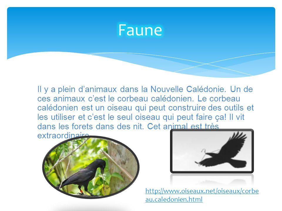 Il y a plein d'animaux dans la Nouvelle Calédonie. Un de ces animaux c'est le corbeau calédonien. Le corbeau calédonien est un oiseau qui peut constru