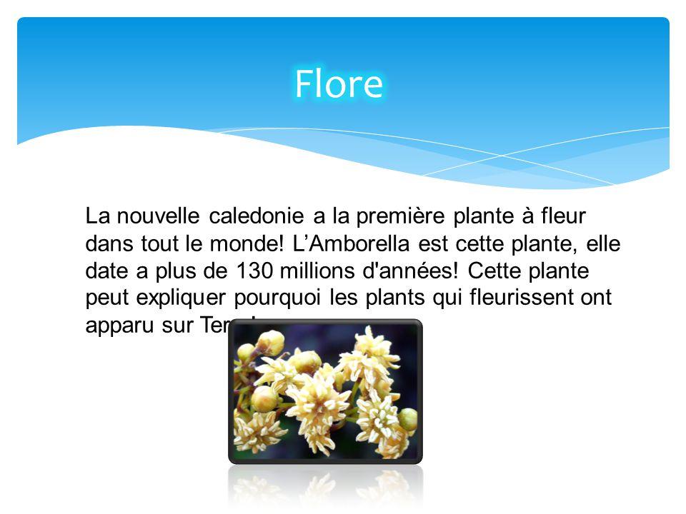 La nouvelle caledonie a la première plante à fleur dans tout le monde! L'Amborella est cette plante, elle date a plus de 130 millions d'années! Cette