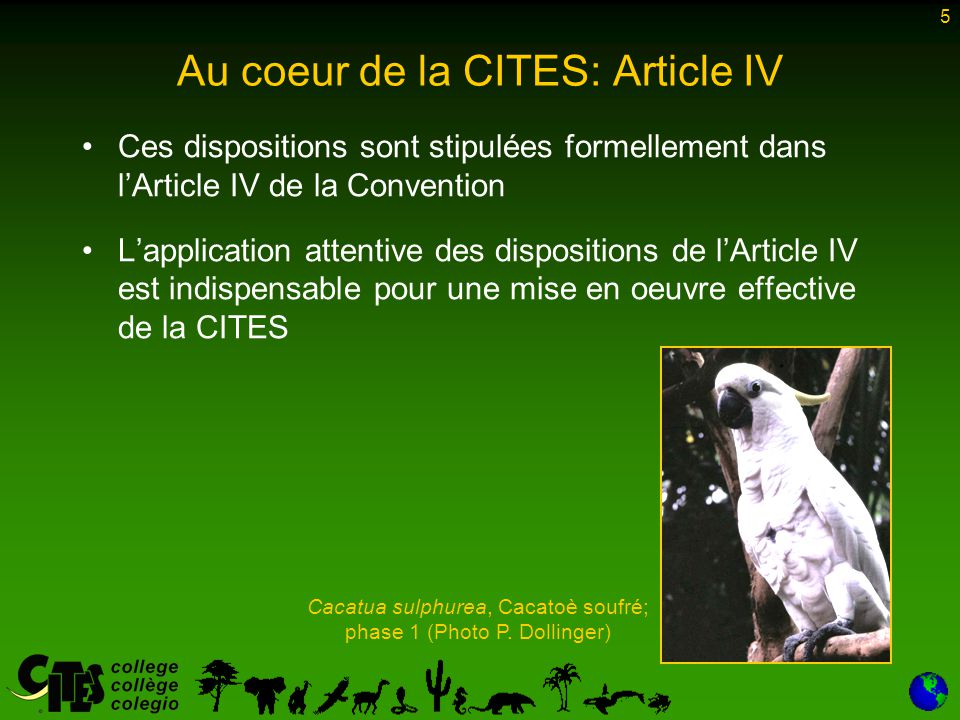 5 Au coeur de la CITES: Article IV Ces dispositions sont stipulées formellement dans l'Article IV de la Convention L'application attentive des dispositions de l'Article IV est indispensable pour une mise en oeuvre effective de la CITES Cacatua sulphurea, Cacatoè soufré; phase 1 (Photo P.