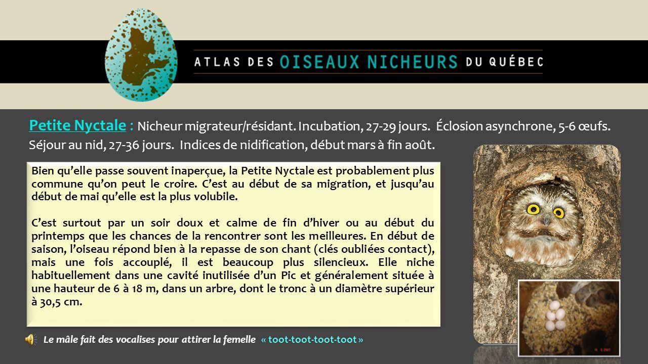 Petite Nyctale : Nicheur migrateur/résidant. Incubation, 27-29 jours. Éclosion asynchrone, 5-6 œufs. Séjour au nid, 27-36 jours. Indices de nidificati