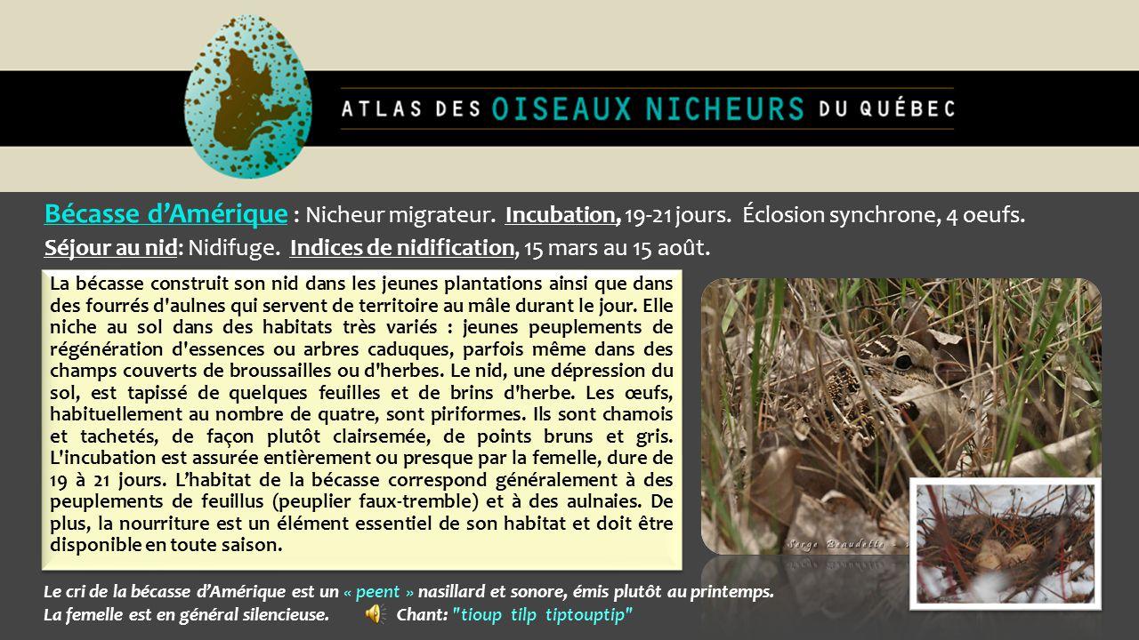 Bécasse d'Amérique : Nicheur migrateur. Incubation, 19-21 jours. Éclosion synchrone, 4 oeufs. Séjour au nid: Nidifuge. Indices de nidification, 15 mar