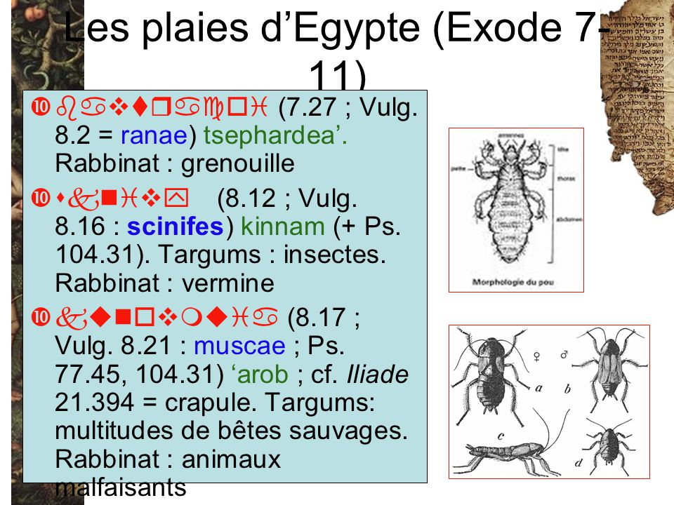 Les plaies d'Egypte (Exode 7- 11) bavtracoi (7.27 ; Vulg. 8.2 = ranae) tsephardea'. Rabbinat : grenouille sknivy (8.12 ; Vulg. 8.16 : scinifes) kinnam