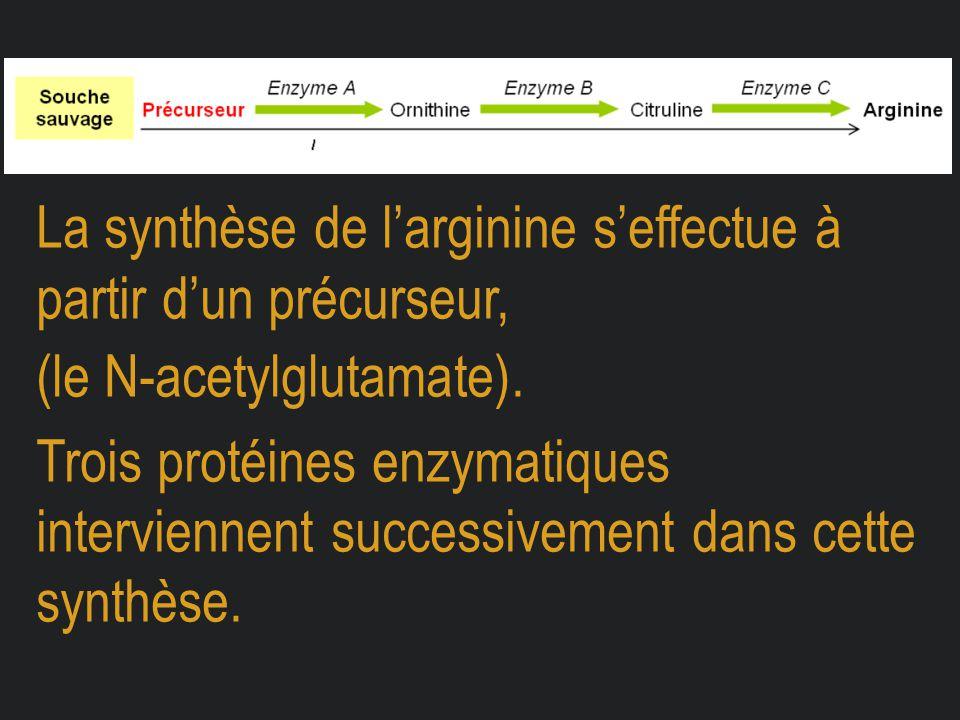 La synthèse de l'arginine s'effectue à partir d'un précurseur, (le N-acetylglutamate). Trois protéines enzymatiques interviennent successivement dans