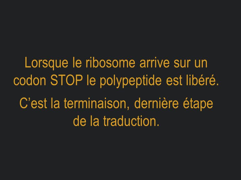 Lorsque le ribosome arrive sur un codon STOP le polypeptide est libéré. C'est la terminaison, dernière étape de la traduction.
