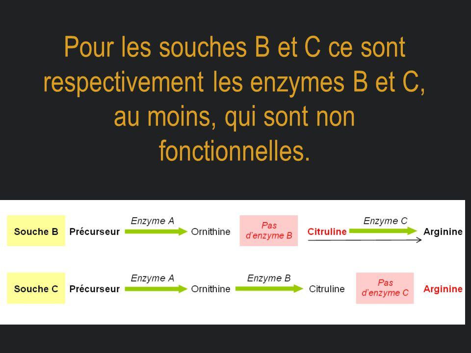 Pour les souches B et C ce sont respectivement les enzymes B et C, au moins, qui sont non fonctionnelles.