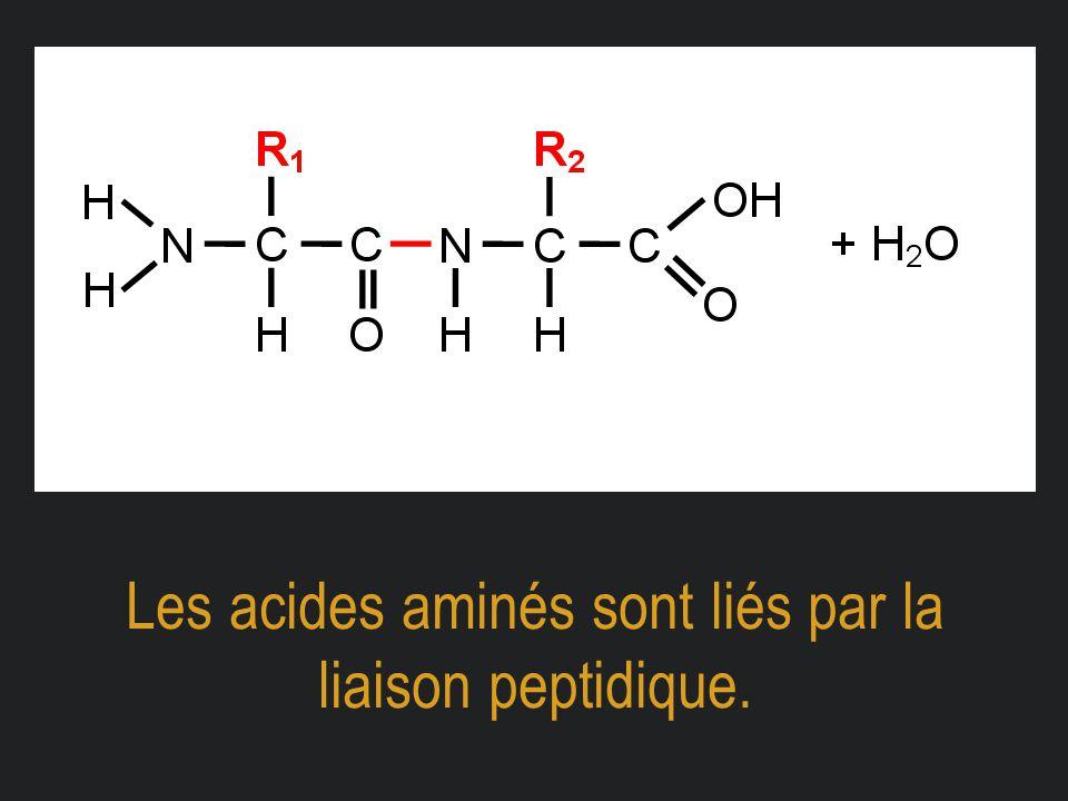Les acides aminés sont liés par la liaison peptidique.