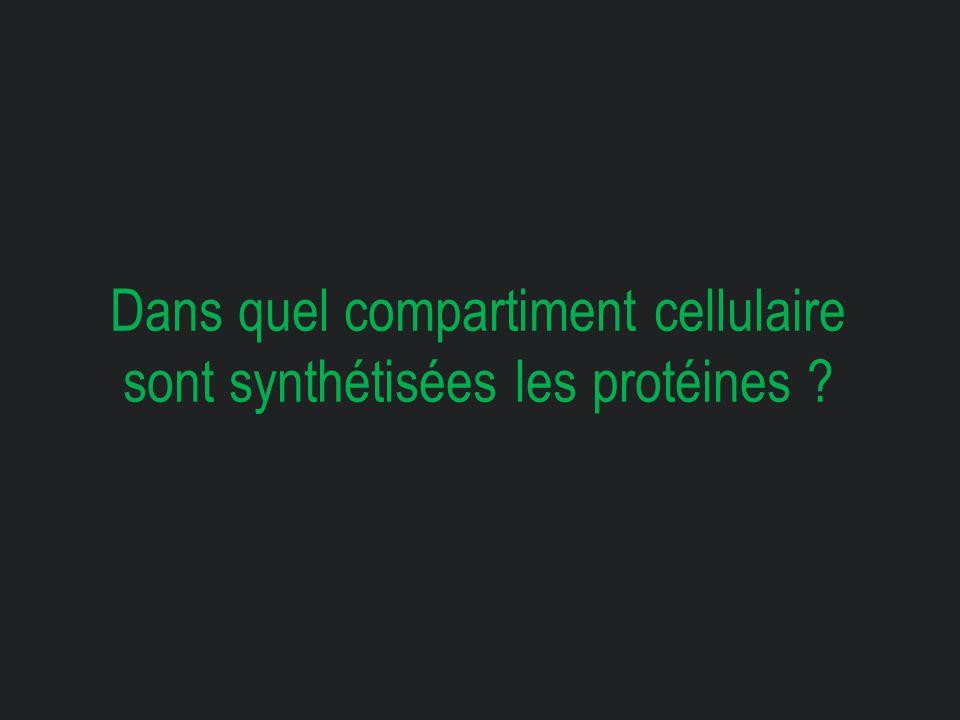 Dans quel compartiment cellulaire sont synthétisées les protéines ?
