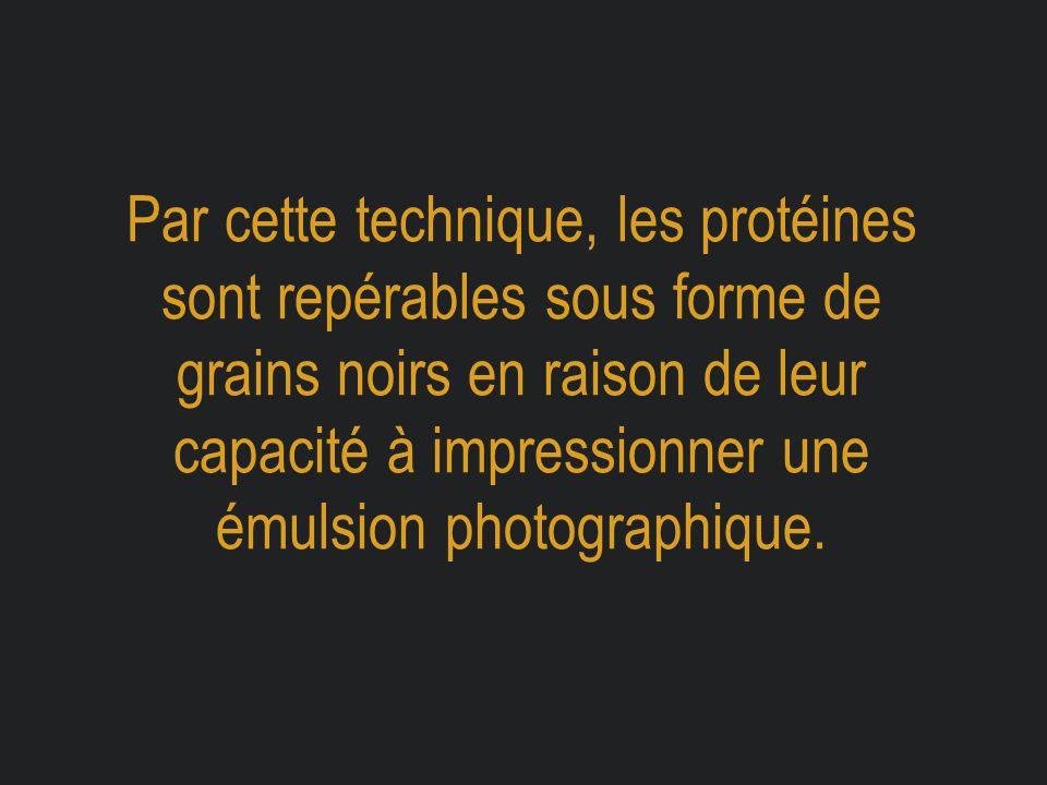Par cette technique, les protéines sont repérables sous forme de grains noirs en raison de leur capacité à impressionner une émulsion photographique.