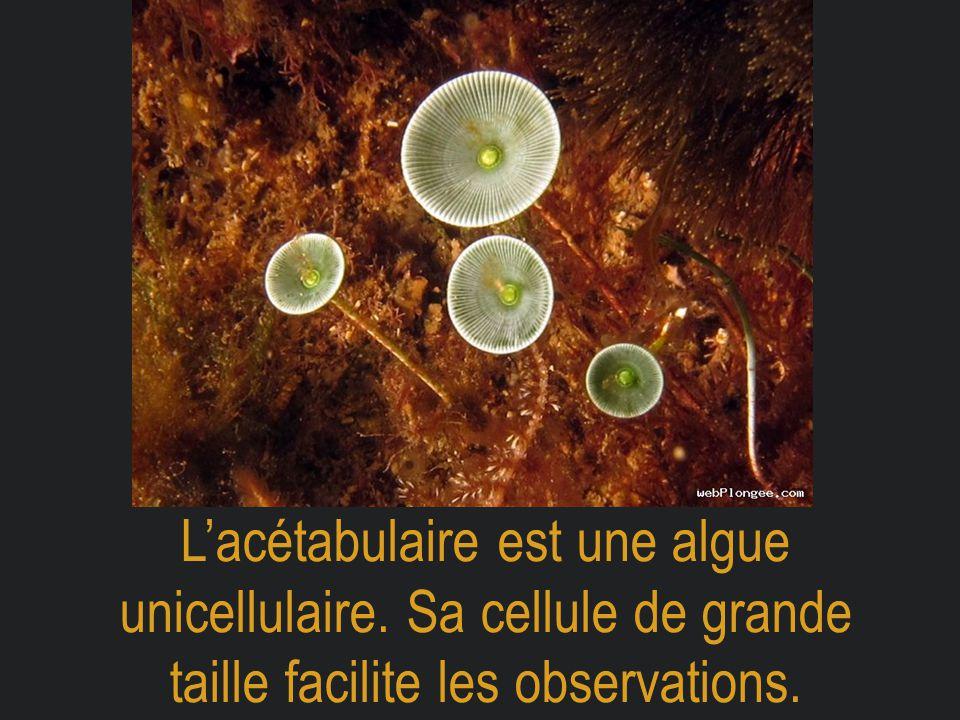 L'acétabulaire est une algue unicellulaire. Sa cellule de grande taille facilite les observations.