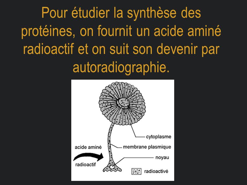 Pour étudier la synthèse des protéines, on fournit un acide aminé radioactif et on suit son devenir par autoradiographie.