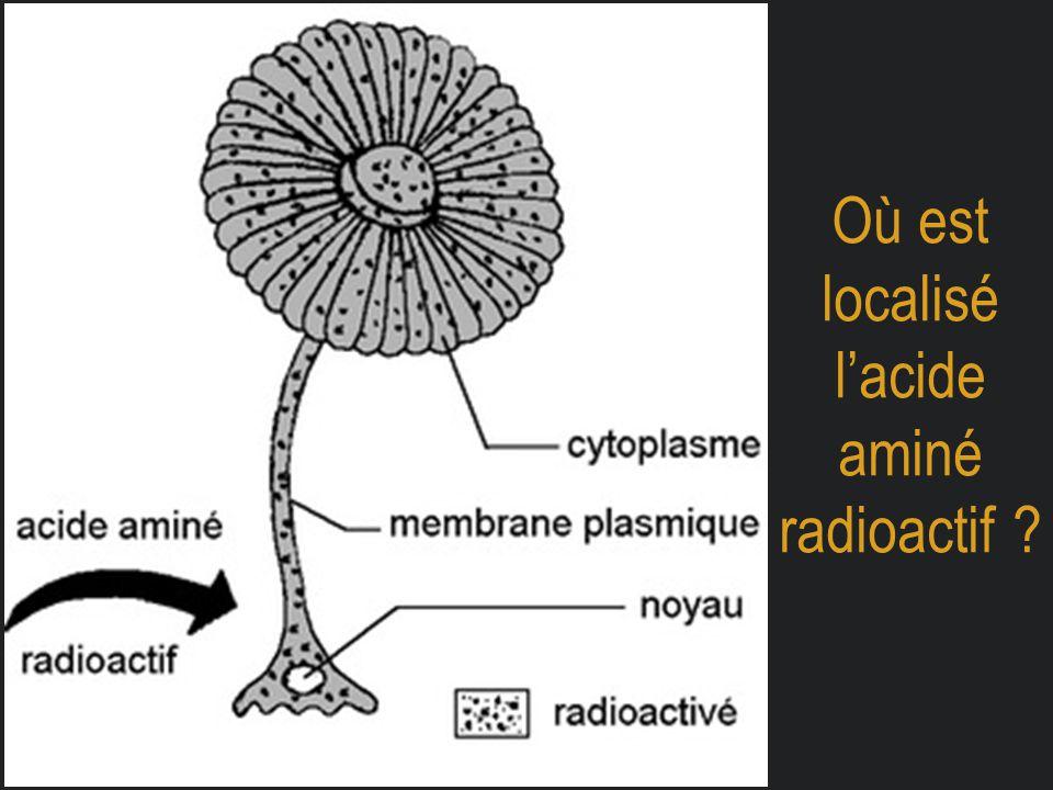 Où est localisé l'acide aminé radioactif ?