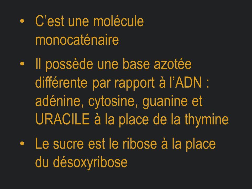 C'est une molécule monocaténaire Il possède une base azotée différente par rapport à l'ADN : adénine, cytosine, guanine et URACILE à la place de la th