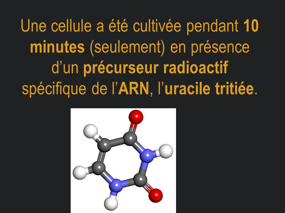 Une cellule a été cultivée pendant 10 minutes (seulement) en présence d'un précurseur radioactif spécifique de l' ARN, l' uracile tritiée.