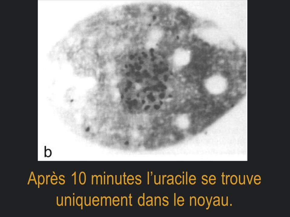 Après 10 minutes l'uracile se trouve uniquement dans le noyau.