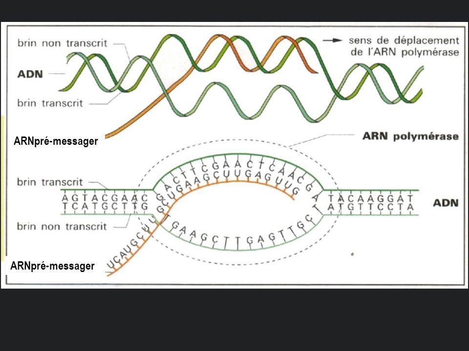 ARNpré-messager