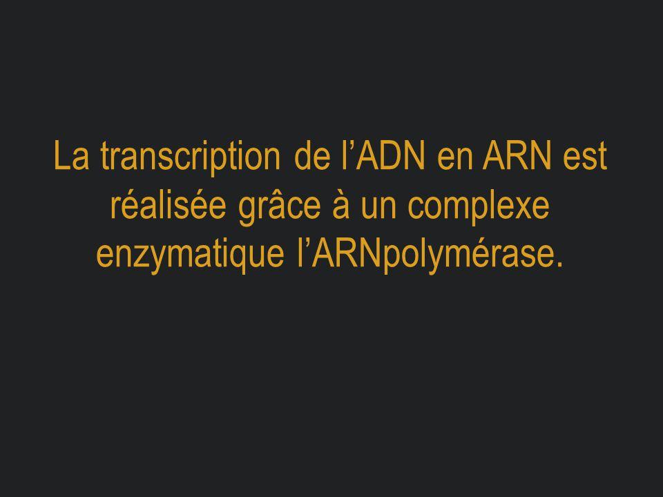 La transcription de l'ADN en ARN est réalisée grâce à un complexe enzymatique l'ARNpolymérase.