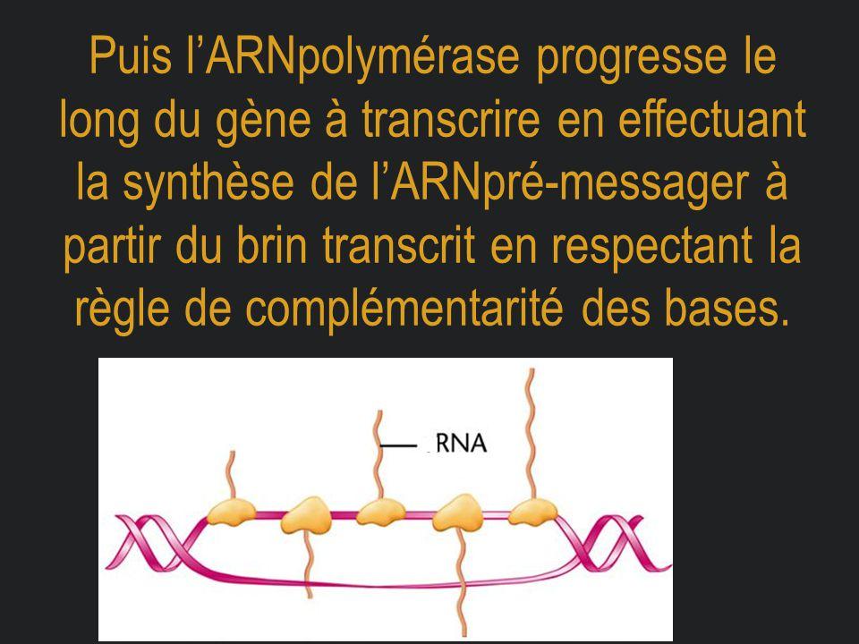 Puis l'ARNpolymérase progresse le long du gène à transcrire en effectuant la synthèse de l'ARNpré-messager à partir du brin transcrit en respectant la