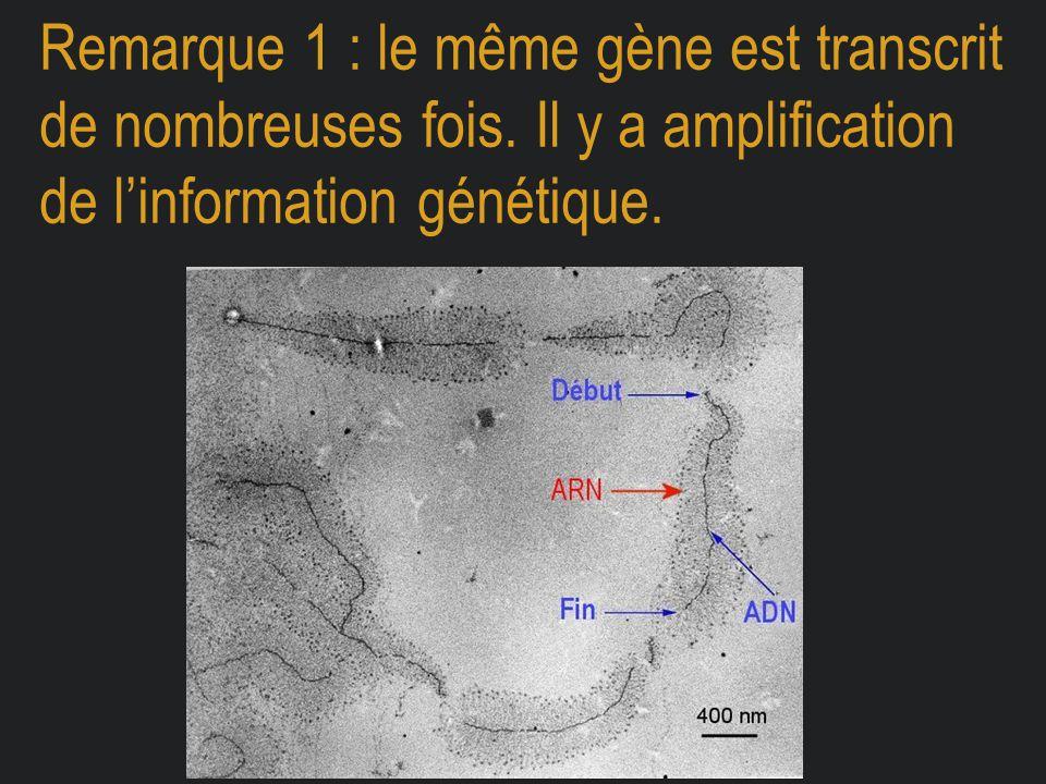Remarque 1 : le même gène est transcrit de nombreuses fois. Il y a amplification de l'information génétique.