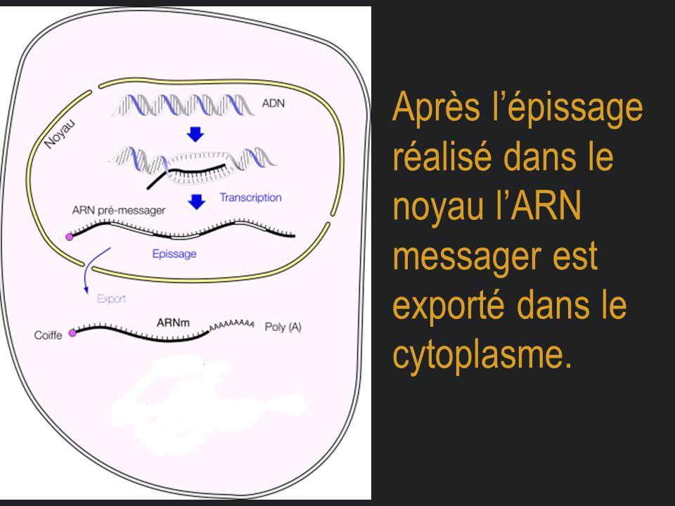 Après l'épissage réalisé dans le noyau l'ARN messager est exporté dans le cytoplasme.