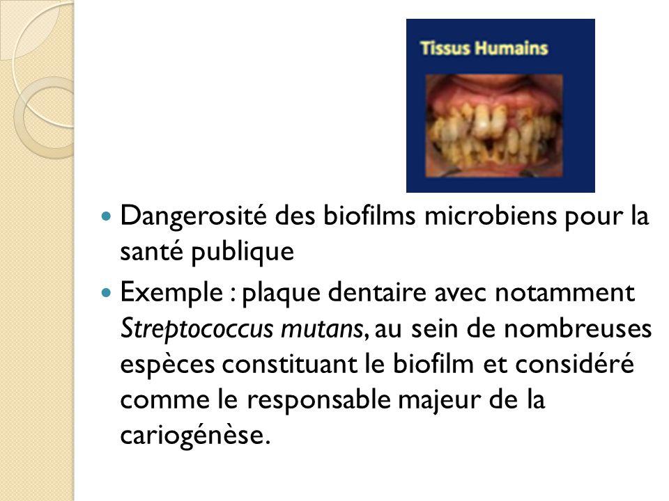 Dangerosité des biofilms microbiens pour la santé publique Exemple : plaque dentaire avec notamment Streptococcus mutans, au sein de nombreuses espèces constituant le biofilm et considéré comme le responsable majeur de la cariogénèse.