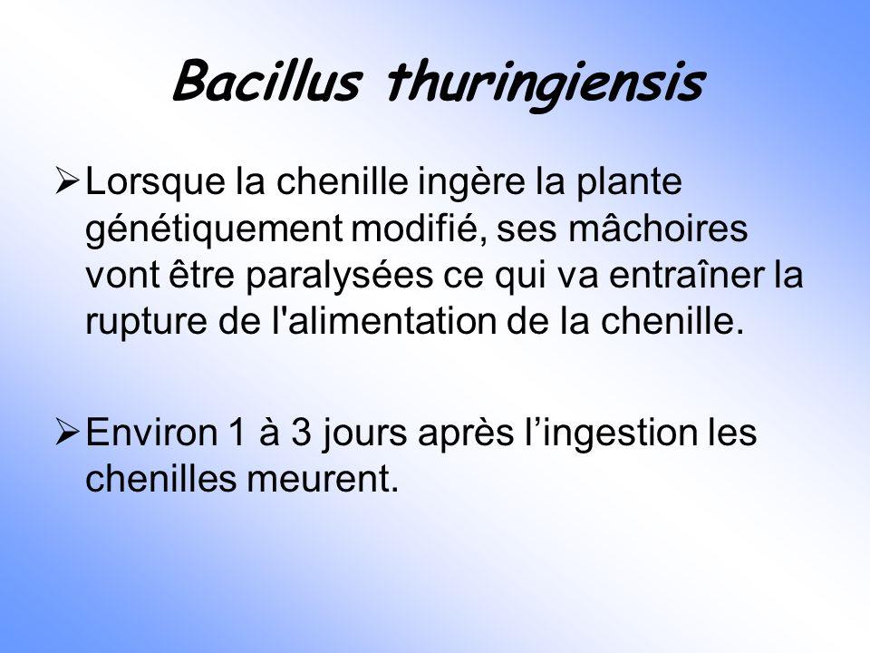 Bacillus thuringiensis  Lorsque la chenille ingère la plante génétiquement modifié, ses mâchoires vont être paralysées ce qui va entraîner la rupture