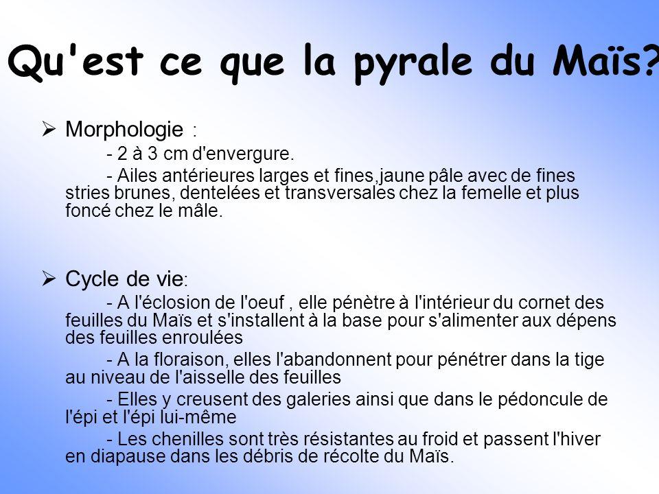 Qu'est ce que la pyrale du Maïs?  Morphologie : - 2 à 3 cm d'envergure. - Ailes antérieures larges et fines,jaune pâle avec de fines stries brunes, d