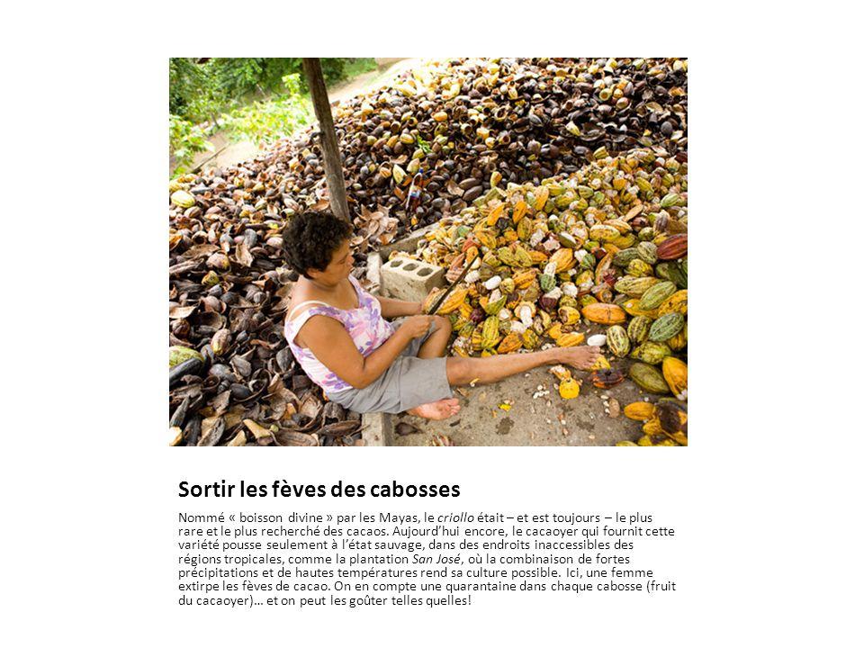 Sortir les fèves des cabosses Nommé « boisson divine » par les Mayas, le criollo était – et est toujours – le plus rare et le plus recherché des cacaos.