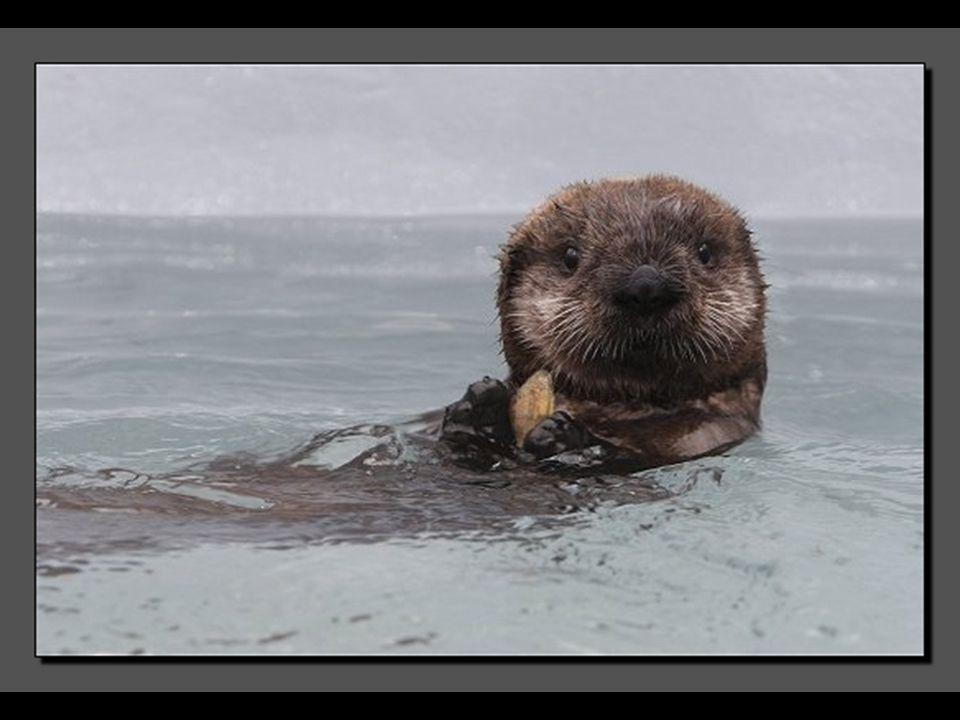 Voici Kit, une femelle loutre de mer. Orpheline, elle errait désespérément dans la baie de Morro à la recherche d'une maman de substitution. Mais aucu