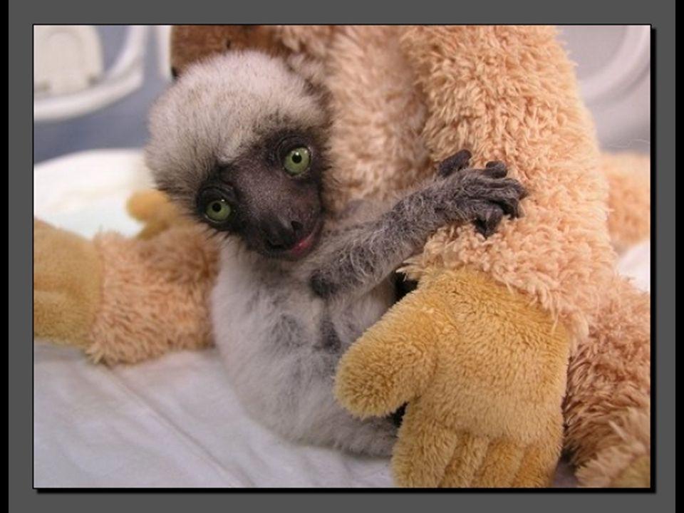 Voici Tahina, une petite femelle propithèque couronné. Elle est née en France au Muséum de Besançon. Tahina, qui signifie en malgache