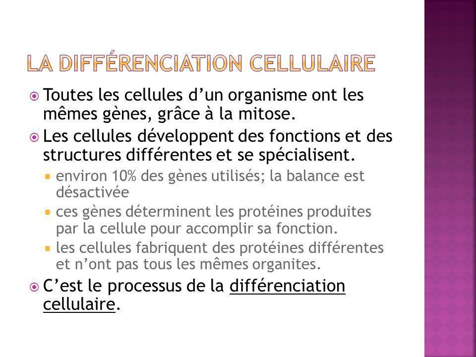  Toutes les cellules d'un organisme ont les mêmes gènes, grâce à la mitose.  Les cellules développent des fonctions et des structures différentes et