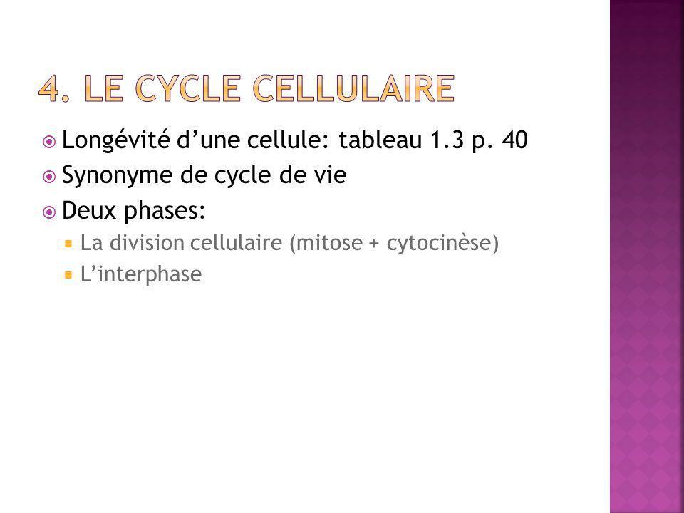  Longévité d'une cellule: tableau 1.3 p. 40  Synonyme de cycle de vie  Deux phases:  La division cellulaire (mitose + cytocinèse)  L'interphase
