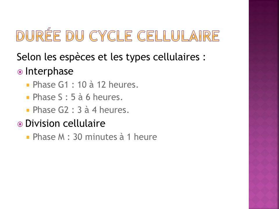 Selon les espèces et les types cellulaires :  Interphase  Phase G1 : 10 à 12 heures.  Phase S : 5 à 6 heures.  Phase G2 : 3 à 4 heures.  Division