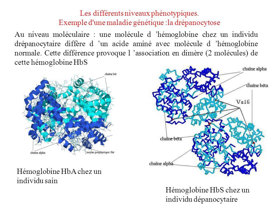 Les différents niveaux phénotypiques. Exemple d'une maladie génétique :la drépanocytose Au niveau moléculaire : une molécule d 'hémoglobine chez un in