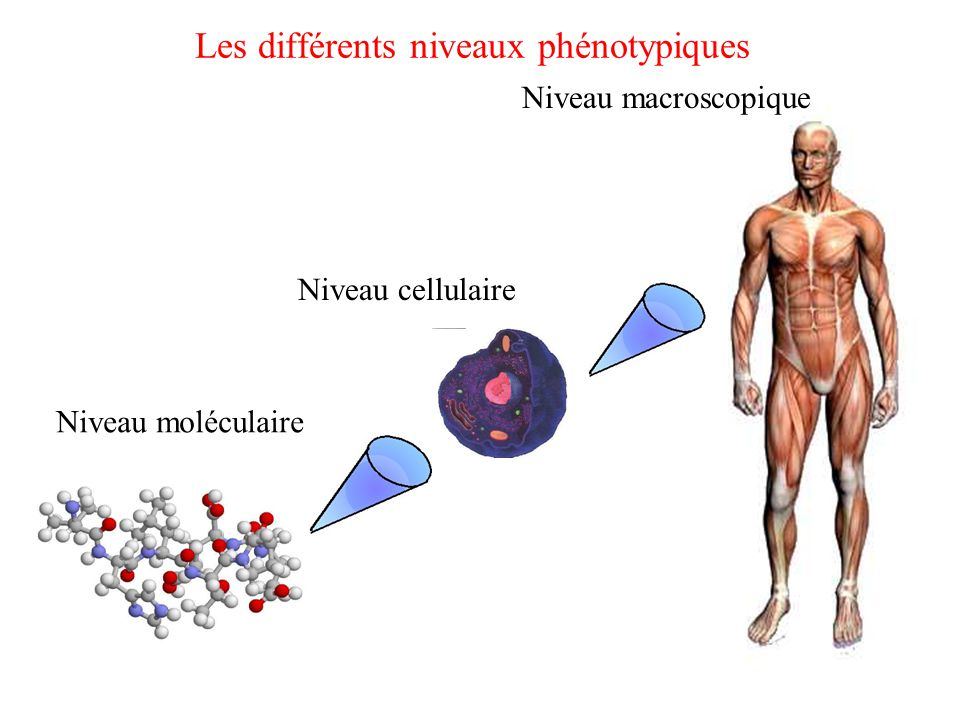 Les différents niveaux phénotypiques Niveau moléculaire Niveau cellulaire Niveau macroscopique