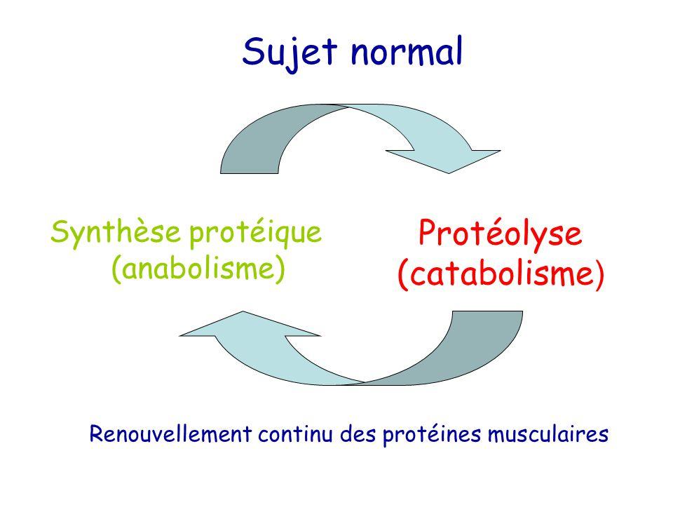 Synthèse protéique (anabolisme) Protéolyse (catabolisme ) Sujet normal Renouvellement continu des protéines musculaires