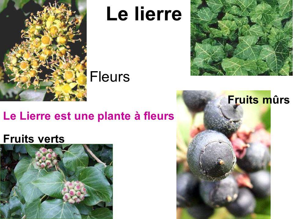 Le lierre Fleurs Fruits verts Fruits mûrs Le Lierre est une plante à fleurs