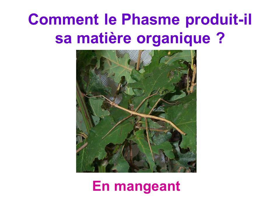 Comment le Phasme produit-il sa matière organique ? En mangeant